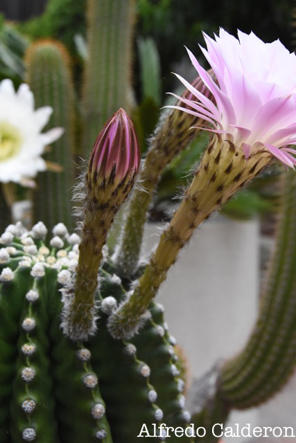 Floral Cacti